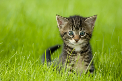 Kitten in grass